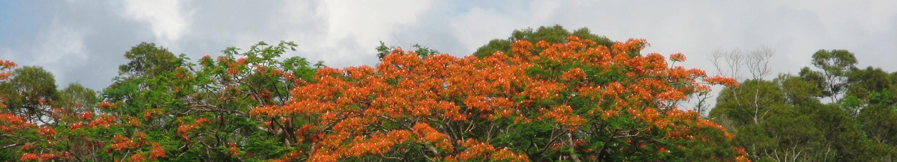 紅花樹海圖