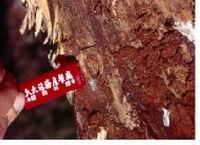天牛為害木質部之情形