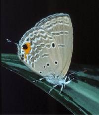 病害:鱗翅目害蟲照片