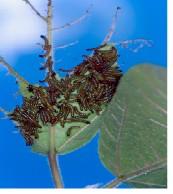 擬燈蛾幼蟲